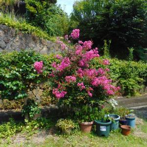 拙宅の周りに咲く盛夏の花