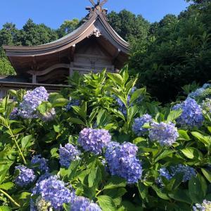 梅雨の晴れ間に、満開の紫陽花 粟井神社