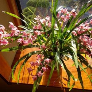 わが家のシンビジュウムが今年は一鉢から3種類の花が咲きました