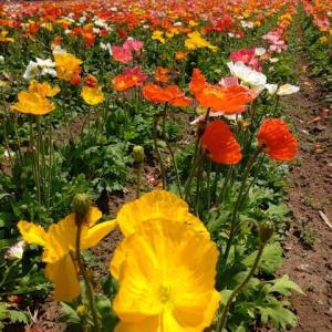 コロナの為、近くの花を見に行きました(お花の写真です)