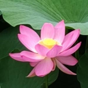 千葉市の花 大賀ハスを千葉公園で観察しました