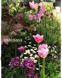 チューリップに頼りきりの庭から白小花の庭に変身