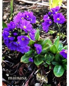 mainasa garden 春まとめ チューリップ以外にもちらほら花が。