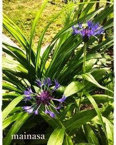 mainasa garden 6月の庭その1