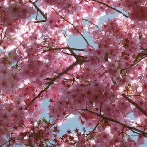 桜も見ごろ。