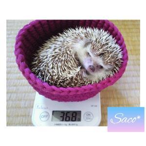 ハリネズミ*サコちゃんの体重測定