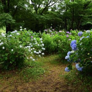 大宮第二公園の紫陽花
