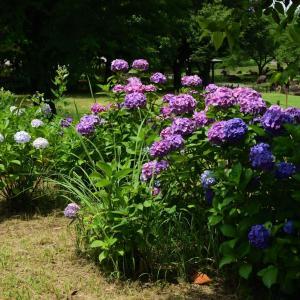紫陽花と古墳