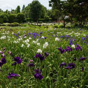 さいたま市見沼の染谷花しょうぶ園