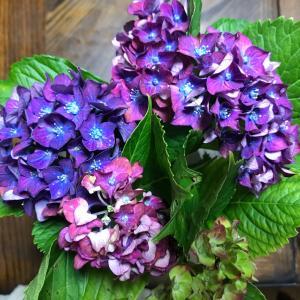 今日のお弁当と紫陽花