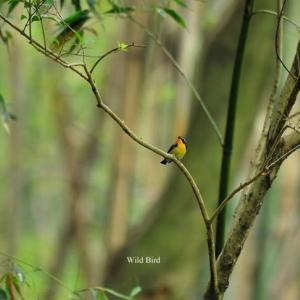 竹林のキビタキ