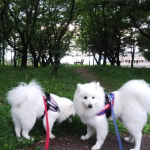 きのうの公園夕んぽと早朝ラン❣️