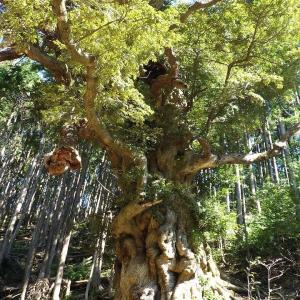 すさみ町のスダジイ巨木