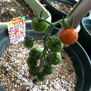 ミニトマトの色付き