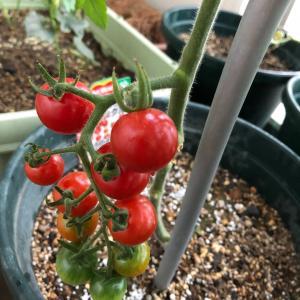 ピーマン、シシトウの収穫とミニトマトの色付き
