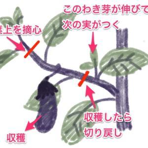 ナス収穫の度に剪定する方法