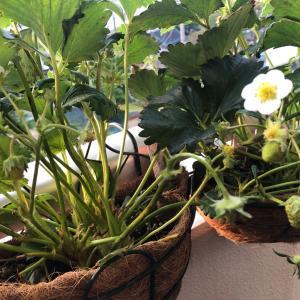 イチゴの第二弾の花芽と金時草