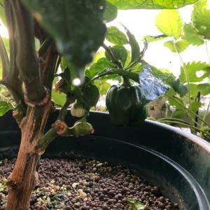 好調な越冬パプリカとスプラウト栽培