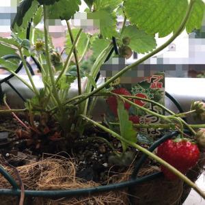 四季なりイチゴ「よつぼし」に花芽が