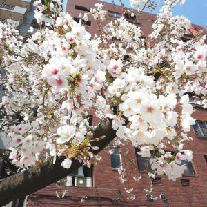 今年の桜☆