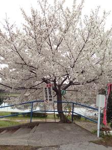 桜と言えば・・・何百年も、雨、風雪に耐え、今も命を讃えている!