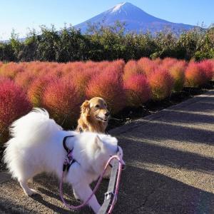 富士山とコキアとワンコさん(@_@。