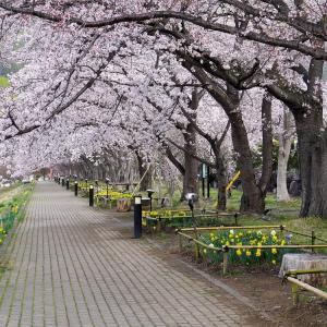 河口湖北岸の桜が見頃です♪