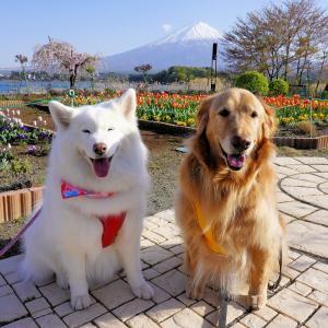富士山とチューリップとワンコさん♪