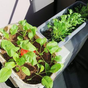 水菜を収穫