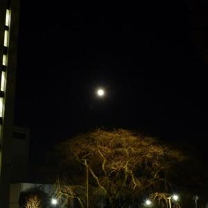 #枝垂れ桜と月