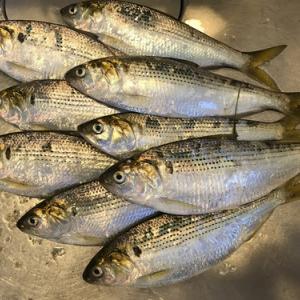 大人3人でコノシロ釣り~ シーズン終了してました