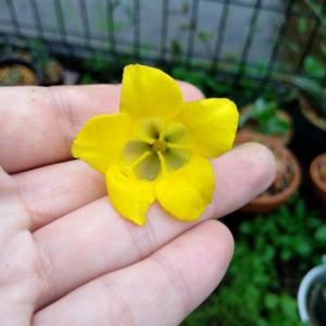 ホロンベンセが咲いた