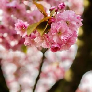 サクラサクラ、サクラと言ってもどぎついピンクのボタボタザクラ、ロックダウンのイギリスで日本を憂う
