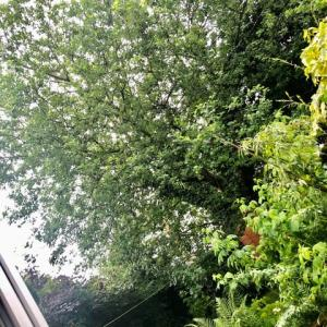 庭の奥に長年見慣れた柳の大木、もてあましてついに切断、作業の過程はなかなか見もの!
