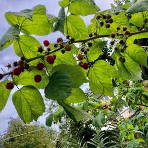 ラズベリーの収穫期、豊作すぎてもてあましぎみ、近所のブラックベリー摘みの穴場がブラックベリーの墓場と化してもったいない!