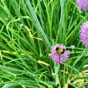 ワクチン接種の翌日、期待した副反応なし(ラッキー!)夏の楽しみ、花から花へブンブン飛び回るフワフワのミツバチ