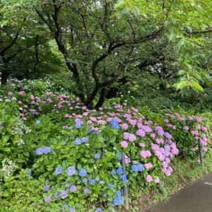 季節を楽しむ。今は紫陽花ですね。