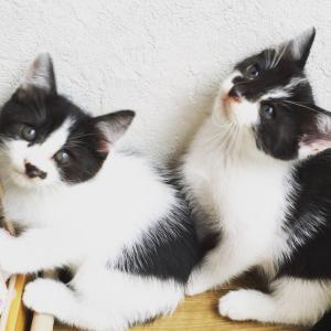生後2か月の子猫の里親募集