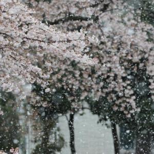 速報 雪桜