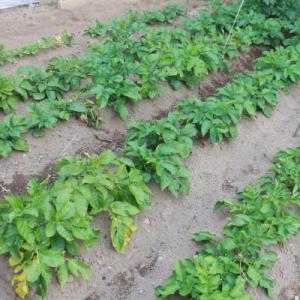 【菜園日記】 初収穫 ジャガイモ と キュウリ と