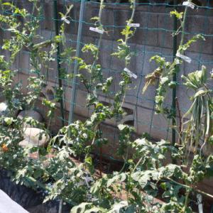【菜園研究】空中栽培のスイカたち