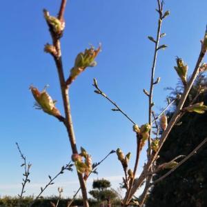 おウチの桜と梅🥰