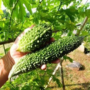 ヘチマとゴーヤを収穫