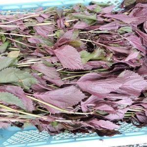 梅の紫蘇漬け