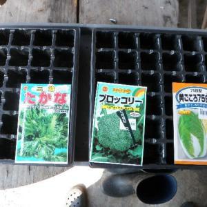 葉野菜の苗作り開始