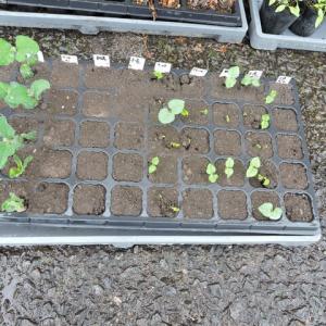 大豆&小豆の苗作り