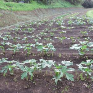 オクラの収穫開始&野菜達
