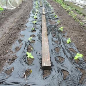 葉野菜を植える。