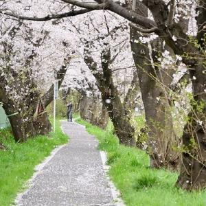4月4日 桜