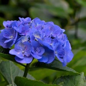 6月17日 紫陽花